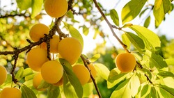 Yellow plum on the tree, green leaves and sky. Old fruit trees. Organic crops