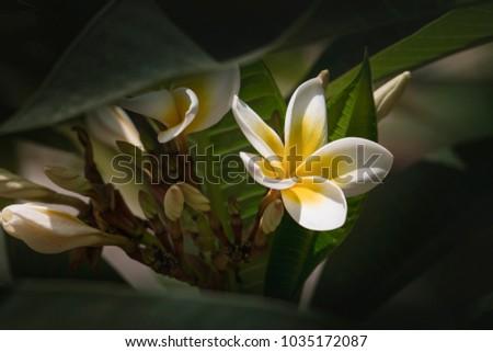 Yellow plumeria blooms five petal white flowers frangipani ez canvas yellow plumeria blooms five petal white flowers frangipani mightylinksfo