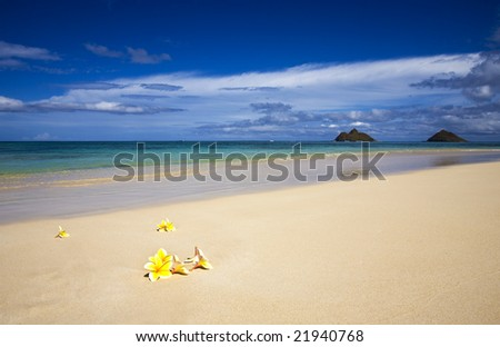 Yellow plumeria blossoms on the shore of Lanikai beach with Mokulua islands in the background on the windward side of Oahu, Hawaii.