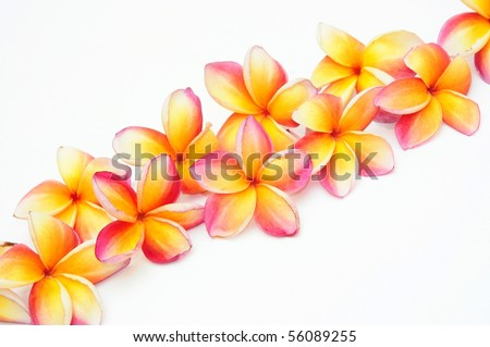 Yellow plumeria for border