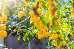 yellow plums, cherry plum fruits on a tree branch, ripe fruit harvest, fruit tree