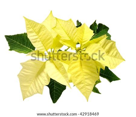 yellow poinsettia