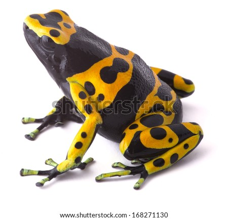 Yellow poison dart frog dendrobates leucomelas. Beautiful tropical rain forest animal from the Amazon rainforest in Venezuela. A poisonous amphibian with black dots. Macro isolated on white