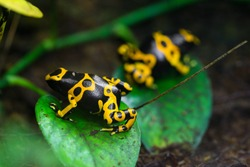 Yellow poison dart frog dendrobates leucomelas hiding in the undergrove. Beautiful tropical rain forest animal from the Amazon rainforest. A poisonous amphibian with black dots.