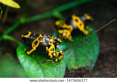 Yellow poison dart frog dendrobates leucomelas hiding in the undergrove. Beautiful tropical rain forest animal from the Amazon rainforest. A poisonous amphibian with black dots. Stock foto ©
