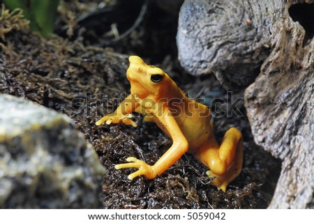 Yellow Poison Tree Frog