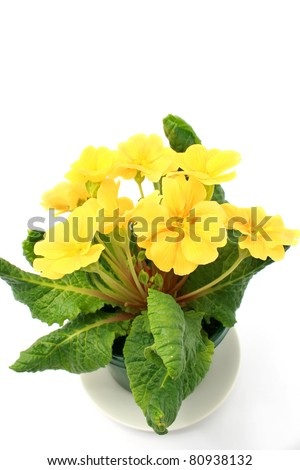 Yellow Polyanthus isolated on white