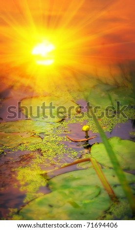 Yellow pond-lily (Nuphar lutea) on sunset - stock photo