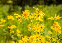 Yellow prairie flowers with mating insects in field in Missouri