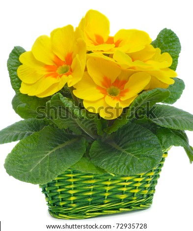 yellow primulas in basket, isolated on white