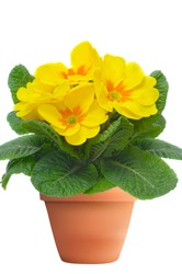 yellow primulas in flowerpot, isolated on white