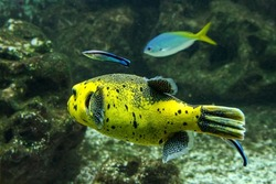 yellow puffer fish in community aquarium lethal poison fish . High quality photo