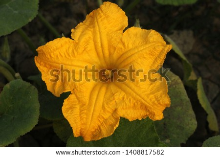 Yellow pumpkin flower. Khulna, Bangladesh. #1408817582