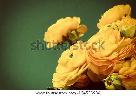 Yellow ranunculus flowers on green background