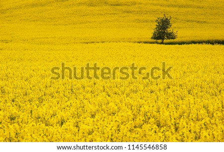Yellow rape field #1145546858
