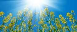 yellow rape field under a sparkle sun, spring countryside natural agricultural background