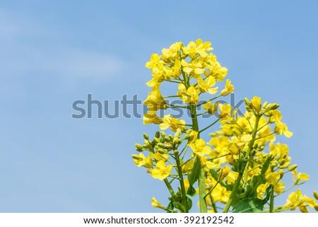 Yellow rape flower bloom in farmland #392192542