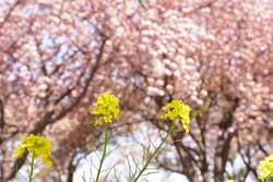 yellow Rape flowers and pink cherry blossom flowers are blooming in a park in May and April in Spring time in Japan.