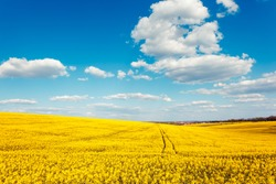 Yellow rapes flowers and blue sky with clouds. Ukraine, Europe. Beauty world.