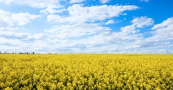 Yellow Rapeseed field and blue sky on spring hot day. Usual rural England landscape in Yorkshire