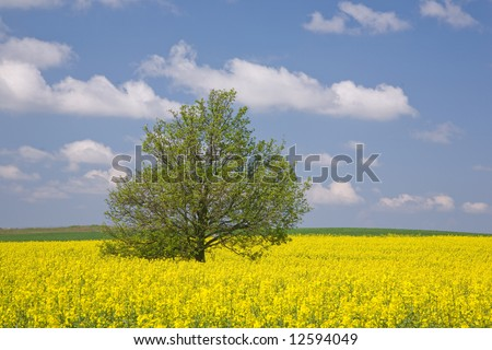 Yellow rapeseed field and lonely tree, early summer,middle europe