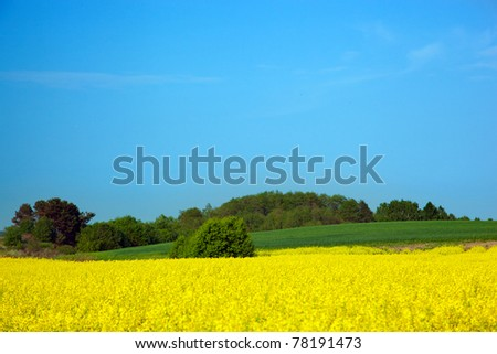 Yellow rapeseed field in spring. Blue sky, white clouds