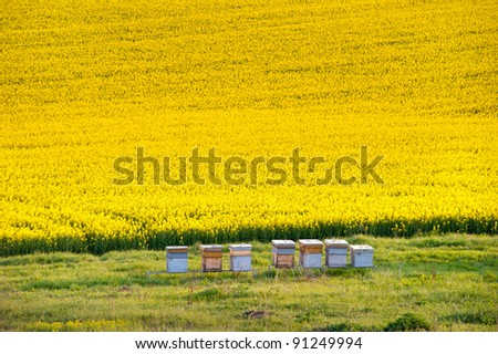 Yellow Rapeseed Field With Apiary