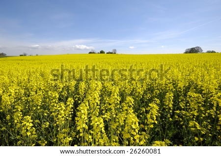 Yellow rapeseed field with blue and cloudy sky.