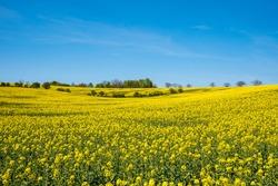 Yellow rapeseed field with deep blue  sky