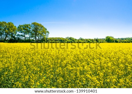 Yellow rapeseed field with trees in the background #139910401