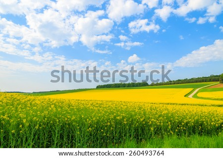 Yellow rapeseed flower field and blue sky, Burgenland, southern Austria #260493764