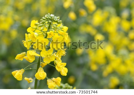 yellow rapeseed flower in bloom during spring
