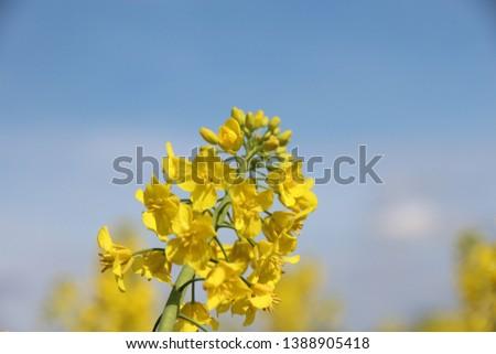Yellow rapeseed flower in sunshine #1388905418