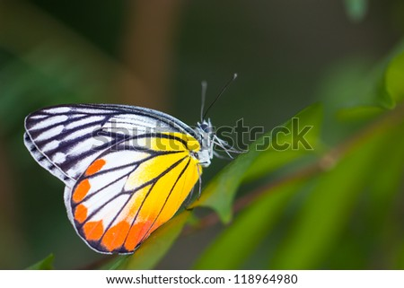 Yellow red butterfly (Painted Jezebel).