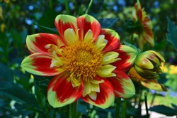 yellow-red dahlia in the park, variety Pooh