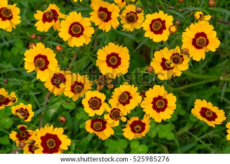 Yellow/red flowers of tiger-eyes daisy (COREOPSIS LANCEOLATA PLANT)