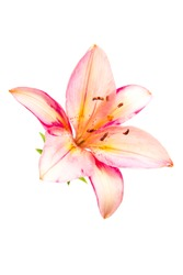 yellow red lily flowers and green leafs isolated. lily flowers. lily flowers isolated on white background