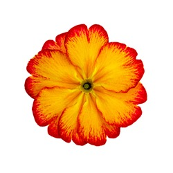 Yellow red primrose primula flower, isolated on white background, close up macro