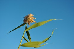 Yellow reed ear with green leaves on stem, blue clear sky background, view from gound on top