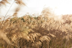 Yellow reed in the field. Bright natural background with sunset. Selective soft focus of beach dry grass, reeds, stalks blowing in the wind at golden sunset light, horizontal