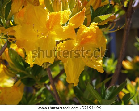 Yellow Rhododendron A Rare Color in Full Bloom - stock photo