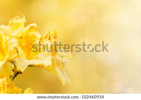 yellow rhododendron azalea with shallow focus bokeh and space for text