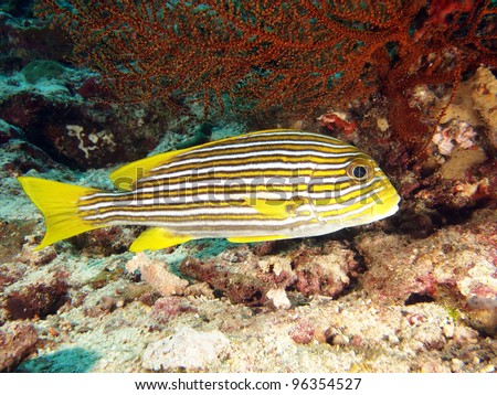 Yellow Ribbon Sweetlips (Plectorhinchus polytaenia) - underwater portrait in the Indo-Pacific ocean, Indonesia.