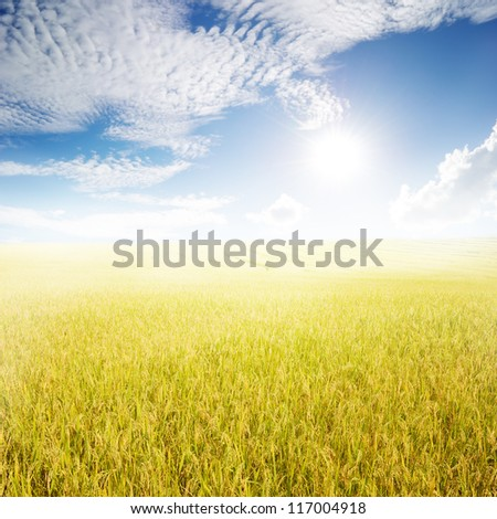 Yellow rice field and sun sky  for background