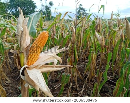 Yellow ripe corn with the kernels still attached to the cob on the stalk in organic corn field. the corn is peeled and dried on the tree before harvesting.