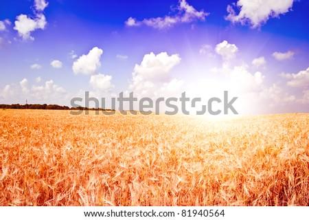 Yellow ripe rye against blue sky #81940564
