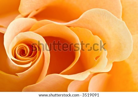 yellow rose background-combination of the perfect form and soft illumination - stock photo