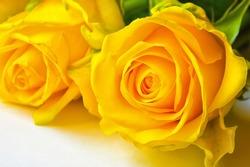 yellow rose. beautiful bright flower.