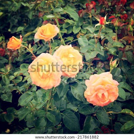 Yellow Rose bush - vintage effect. Blooming roses bunched together - retro filter. Yellow rose background. Flowers.