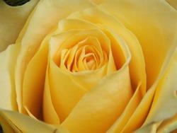 Yellow Rose Close-Up Image
